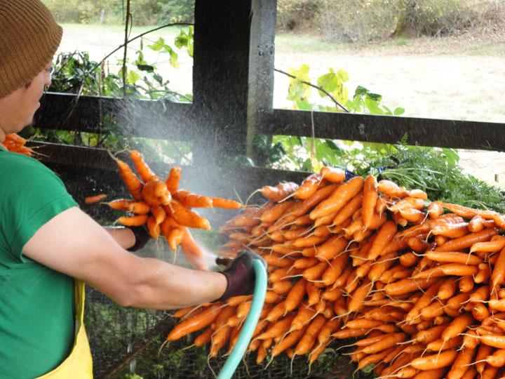 Helsing Carrots 2012 resized